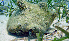 fuzzy conch
