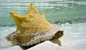 adult conch