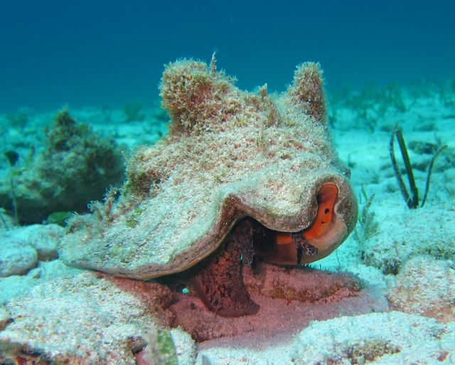 deep water conch